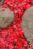 L'érable laisse la cascade à écriture ligne par ligne Photographie stock