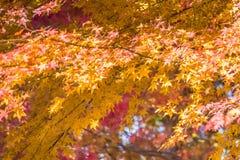 L'érable laisse le fond de texture en automne Photographie stock