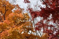 L'érable orange et rouge part sur des arbres d'érable Photographie stock