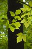 L'érable part dans le contre-jour sur le fond de la forêt Photographie stock