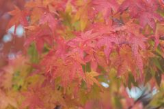 L'érable part pendant l'automne avec la baisse de pluie, Nikko image stock