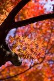 L'érable rouge d'automne part du fond Photos libres de droits