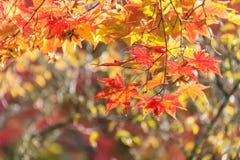 L'érable rouge d'automne part du fond Photographie stock libre de droits