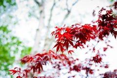 L'érable rouge foncé part dans le ciel comme fond Photographie stock libre de droits