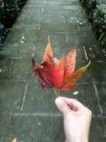 L'érable rouge part à disposition photographie stock libre de droits