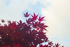 L'érable rouge part avec le fond brouillé de ciel bleu, photo stock