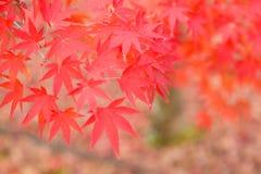 L'érable rouge part pendant la saison d'automne, Japon image libre de droits