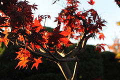 L'érable rouge part pendant le feuillage pendant l'automne contre le ciel bleu Photo stock