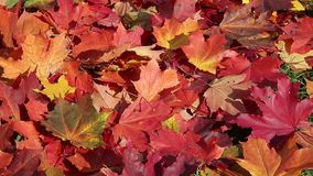 L'érable rouge tombé d'automne part par temps venteux banque de vidéos