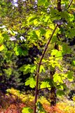 L'érable se développe sous le soleil Photographie stock