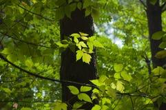 L'érable vert part dans le contre-jour sur le fond du pour Photos stock