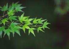 L'érable vert part sur une branche trouvée à Tokyo Photographie stock libre de droits