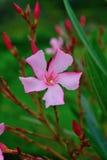 L'été d'oléandre de Nerium fleurit dans la tache floue rose rouge blanche Photos libres de droits