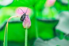 L'été de l'étang, les scarabées de fleur de lotus se reposent dans la terre Photo stock
