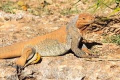 L'été ensoleillé animal sauvage de reptile barbu de dragon de lézard ou d'iguane extérieur se repose près de l'herbe sur le fond  Photo libre de droits