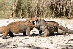 L'été ensoleillé animal sauvage de reptile barbu de dragon de lézard ou d'iguane extérieur se repose près de l'herbe sur le fond  Image stock