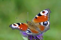 L'été est la période des papillons Un bel insecte boit du nectar d'une fleur Photographie stock libre de droits