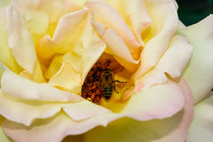 L'été fleurissant a monté dans le bourgeon Photos stock
