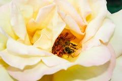 L'été fleurissant a monté dans le bourgeon Photographie stock libre de droits