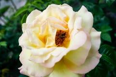 L'été fleurissant a monté dans le bourgeon Photo libre de droits