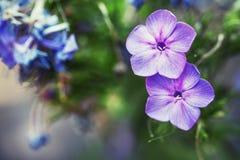 L'été naturel a brouillé le fond avec les fleurs lilas, imag modifié la tonalité photos stock