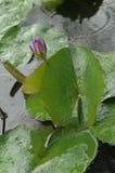 L'étang de lotus Photo libre de droits
