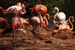 L'étang du flamant en parc de zoo, Moscou, Russie Photos stock