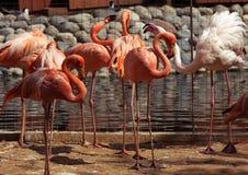 L'étang du flamant en parc de zoo, Moscou, Russie Photos libres de droits