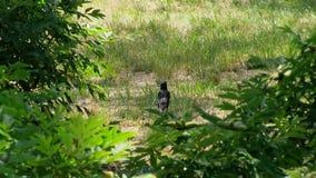 L'étourneau se repose dans l'herbe Il note la surveillance et vole loin Mouvement lent clips vidéos