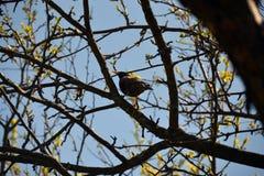 L'étourneau se repose sur une branche au printemps Photo stock