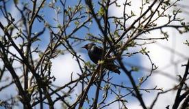 L'étourneau se repose sur une branche au printemps Photos stock