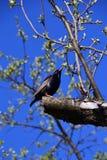 L'étourneau se repose sur une branche au printemps Image libre de droits