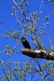 L'étourneau se repose sur une branche au printemps Photos libres de droits