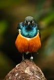 L'étourneau superbe, l'oiseau bleu et orange exotique, vue face à face, se reposant sur la pierre, ont trouvé au Soudan du sud-es Photos stock
