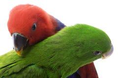 l'île d'eclectus parrots le solomon Image stock
