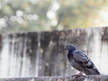 L'île de colombe est entourée par les murs gris Photo libre de droits