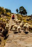L'île de Techile, dame âgée guide un troupeau des moutons, Pérou Photo stock