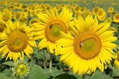 向日葵的领域 蜂收集蜂蜜和花粉在向日葵 免版税库存照片