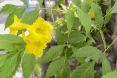 L'aîné jaune, les cloches jaunes, ou la vigne de trompette fleurit Image libre de droits