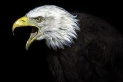 L'aîné Vieil Eagle chauve américain image stock