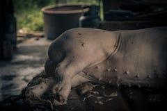 L'abattoir de porcs emploie l'eau chaude pour l'élevage de porcs Photographie stock