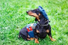 L'abbigliamento nero affascinante del denim del cane del bassotto tedesco gradisce un lavoratore con le pinze nella tasca Immagini Stock