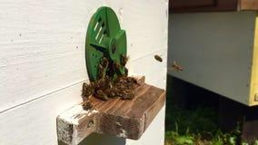 L'abeille à ailes vole lentement à la ruche pour rassembler le nectar sur le rucher privé des fleurs vivantes banque de vidéos