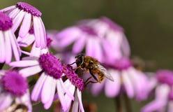 L'abeille était perché sur le webbii coloré de pericallis de fleurs sauvages Image stock