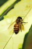 L'abeille Images libres de droits
