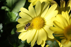 L'abeille Photos stock