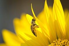 L'abeille assidue de mon arrière-cour photographie stock libre de droits