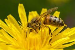 L'abeille complètement du nectar décore la nature Photographie stock