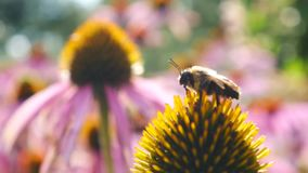 L'abeille décollent sur des fleurs d'officinalis d'Echinacea banque de vidéos