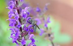 L'abeille d'extraction Colletes Succinctus sur un Salvia bleu fleurissent Photos stock